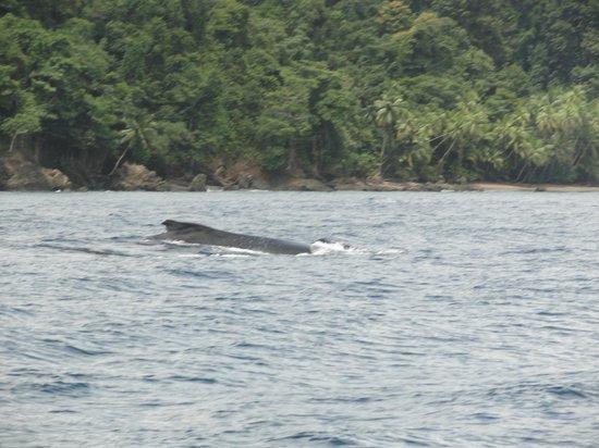 Cano Island: Humpback whale