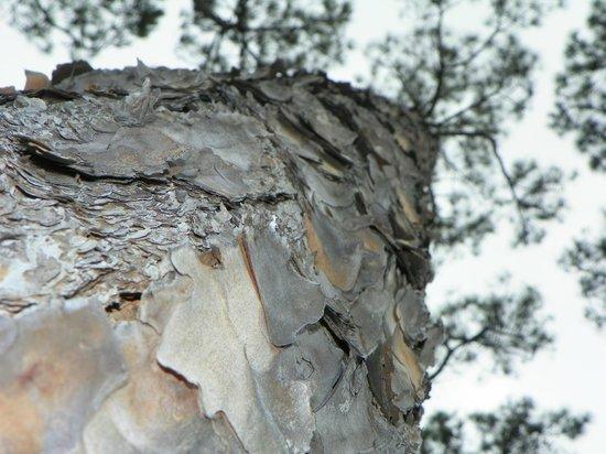 Grayton Beach State Park: Slash Pine