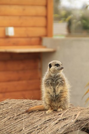 Ashbourne, Ireland: Meercat
