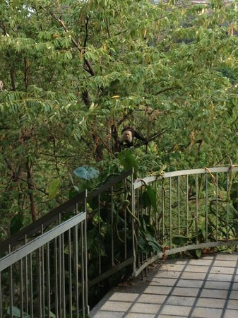 Arenas del Mar Beachfront & Rainforest Resort: monkey by the stairs leading down from our building (at 6am)