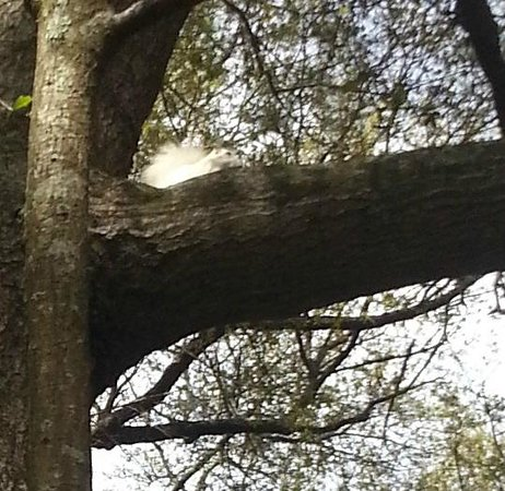 Angel Oak Tree: Shy white squirrel near the Angel Oak, barely visible high in a tree.