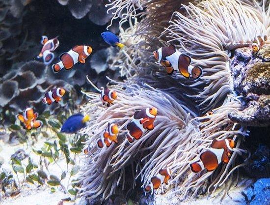 Clownfish Aquarium   Clown Fish In The Tropic Zone Picture Of Vancouver Aquarium
