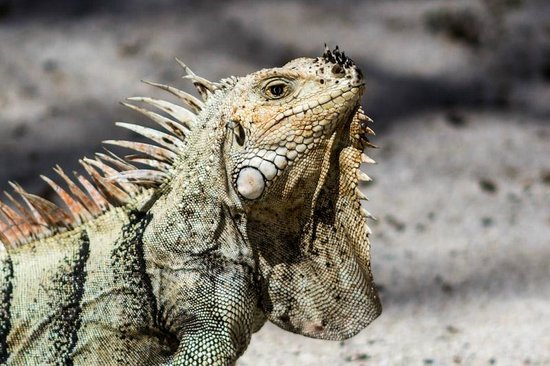 Palm Island Resort & Spa: The Iguanas are everywhere (except in your room) and will mooch a convenient meal at your table
