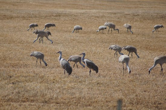 Monte Vista National Wildlife Refuge : Sandhill Cranes 10 feet off of the roadway in Monte Vista