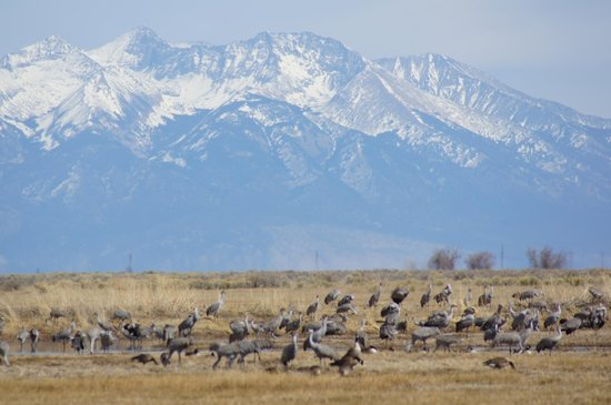 Alamosa, CO: Snow capped peaks and sand hill cranes in Monte Vista
