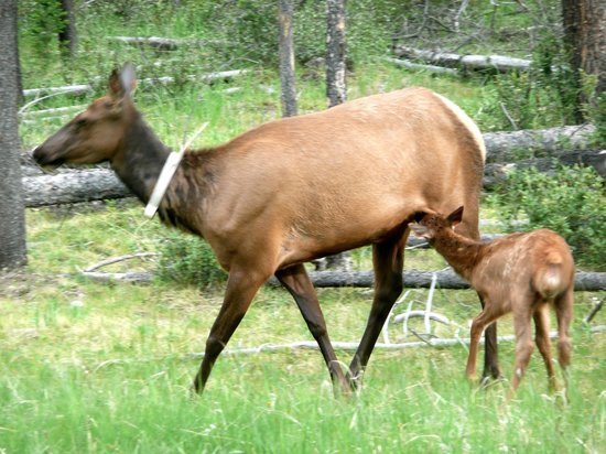 Pyramid Lake Resort: Elk family nearby