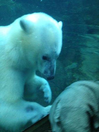 Louisville Zoo: the amazing polar bear!