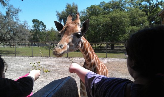 Giraffe Ranch: My grandaughters feeding the Baby Giraffe
