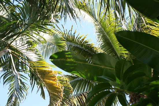 Grandview Gardens Bed & Breakfast : A Canopy of Palm Beach Palms