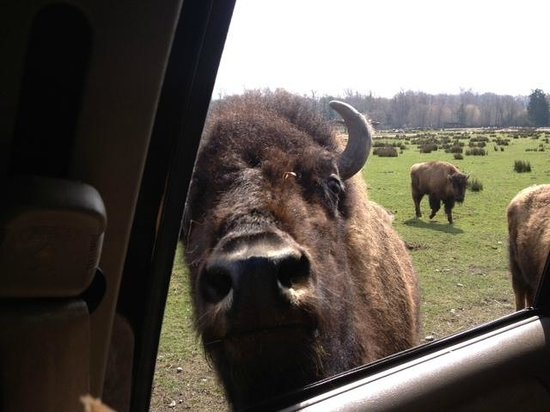 Olympic Game Farm: Bison