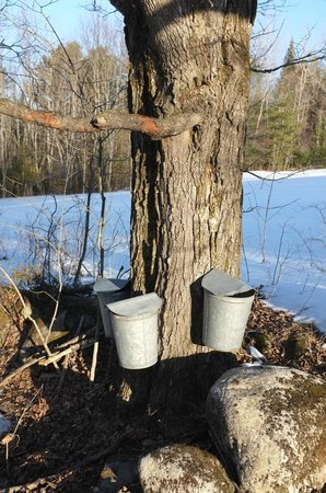 Vermont Grand View Farm and Bed & Breakfast: Sugar Maple & Sap Buckets @ Grand View
