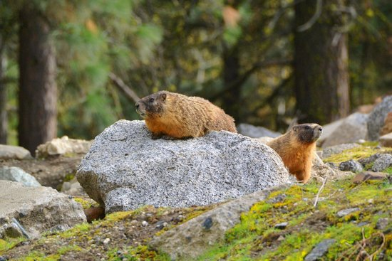 Alpine Rivers Inn: marmots next door