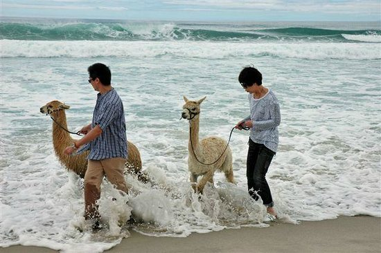 Alpaca Beach Walk