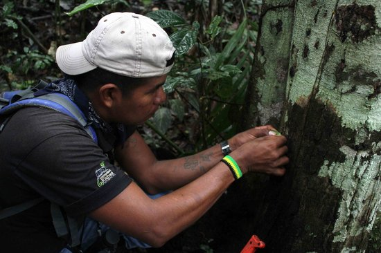 Napo Wildlife Center Ecolodge: Local guide showing us an itch remedy from the forest