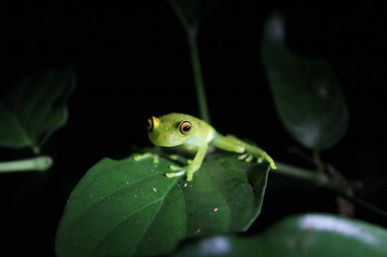 Napo Wildlife Center Ecolodge: Glass Tree Frog on night walk