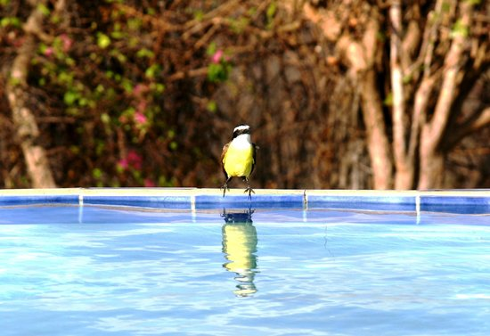 Finca Las Nubes: flycatcher drinking from the pool
