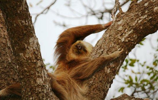 Finca Las Nubes: resident sloth