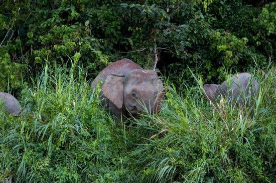 Osman's Homestay: Pygmy elephants