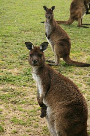 Kangaroo Island Gateway Visitor Information Centre: Kangaroos