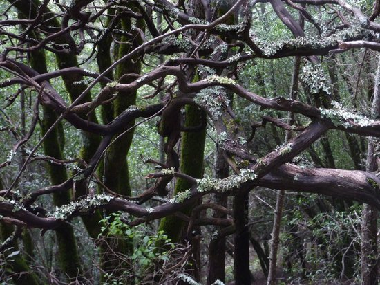 Muir Woods National Monument: Twisted branches