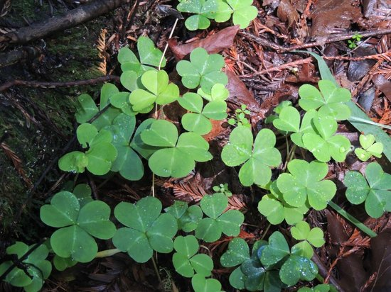 Muir Woods National Monument: Wild clover