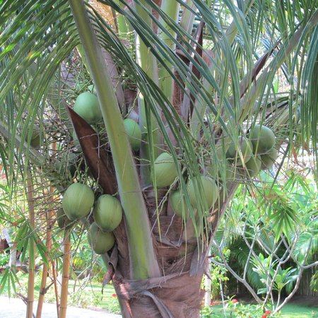 Full Moon Village: cocnuts