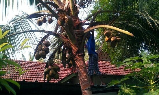 Kodianthara Heritage Home: cutting our coconuts down