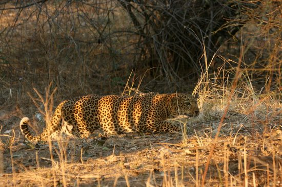 Track and Trail River Camp: Leopard hunting a impala