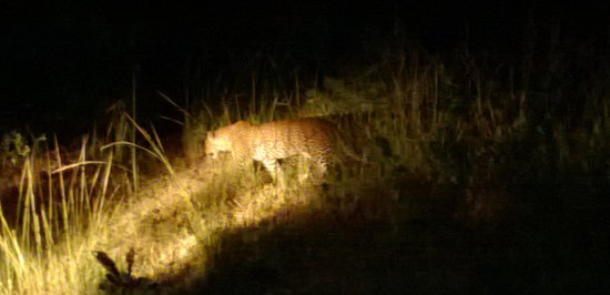 Track and Trail River Camp: Night game drive- leopard!