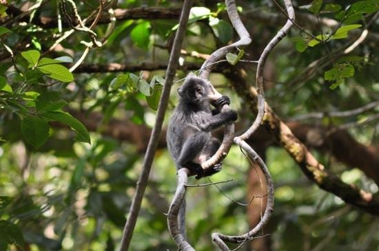 Permai Rainforest Resort: silverleaf monkey playing in trees around cabins
