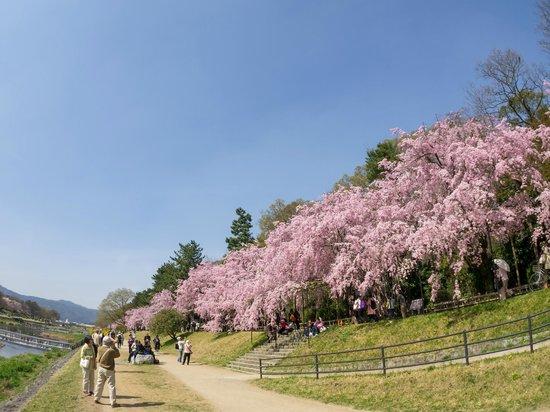 Kioto, Japón: 枝垂れ桜(ちょっと引いて)