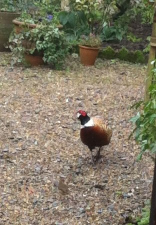 Becketts Bed and Breakfast: Pheasant visiting our bird table