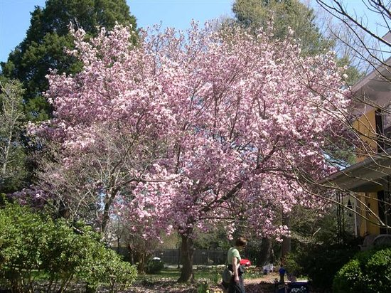 Back Inn Time: Saucer Magnolia