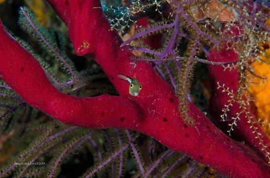 Huracan Diving: A tiny sharpnose puffer kept an eye on us!