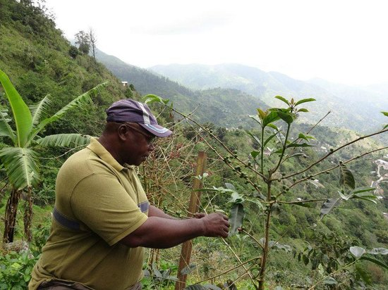 Attractions Link Limited: Wayne explaining how coffee beans are harvested.