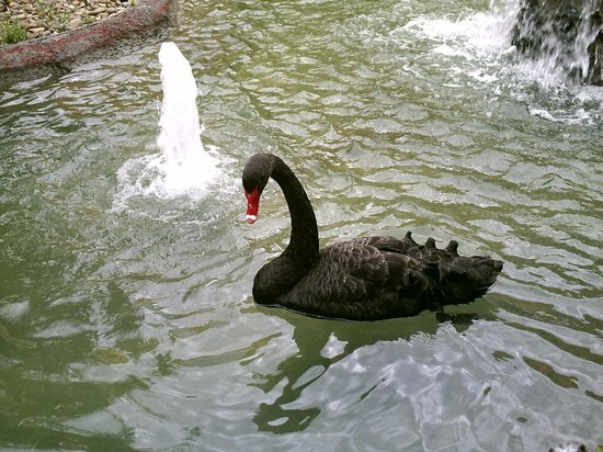 Embassy Suites by Hilton Napa Valley: Black swans!