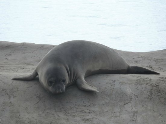 Ano Nuevo Elephant Seal Tours: Elephant seal pup at Ano Nuevo