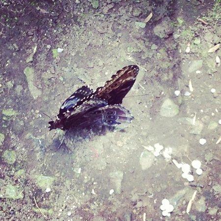 Spirogyra Butterfly Garden: Butterflies mating