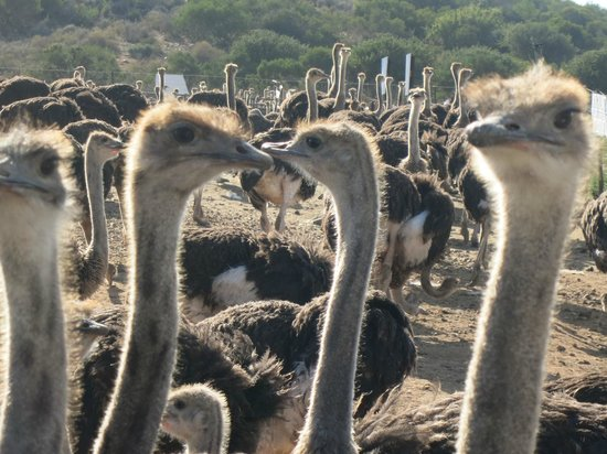 Backpackers Paradise & Joyrides : Ostrich farm