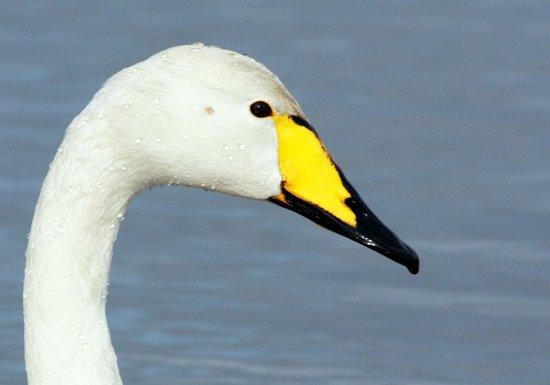 WWT Castle Espie Wetland Centre: Whooper Swan