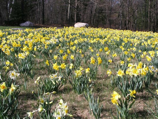 Tower Hill Botanic Garden: 25,000 Daffodils in Bloom