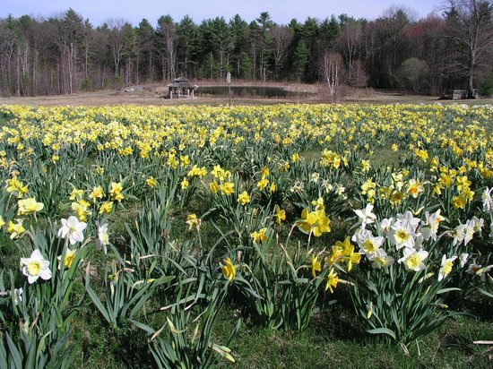 Tower Hill Botanic Garden: The Field of Daffodils