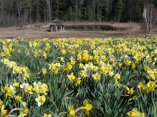 Thousands of Daffodils - Picture of Tower Hill Botanic Garden ...