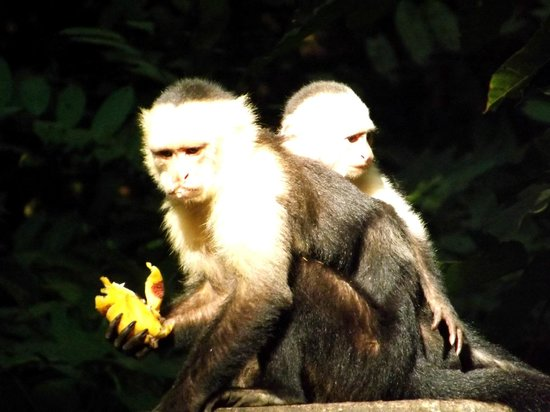 Hotel bungalows SolyLuna los Almendros.: Capuchin Monkeys