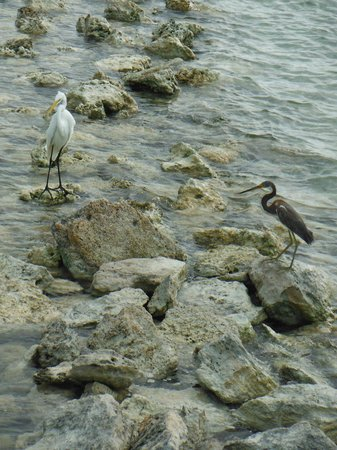 Pelican Reef Villas Resort: This pair was at the beach every day