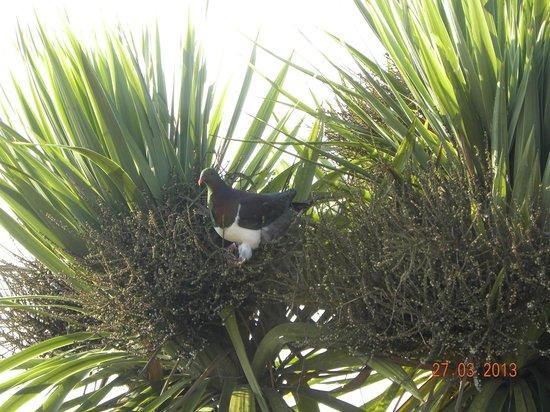 Matakohe B & B Petite Provence: Kereru native wood pigeon