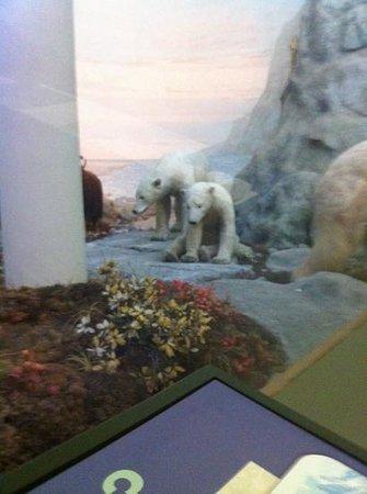 Biodiversity Institute & Natural History Museum: polar bears in the diorama