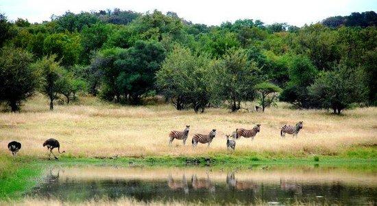 Thaba Khaya Lodge, Sable Ranch: At the Game Reserve