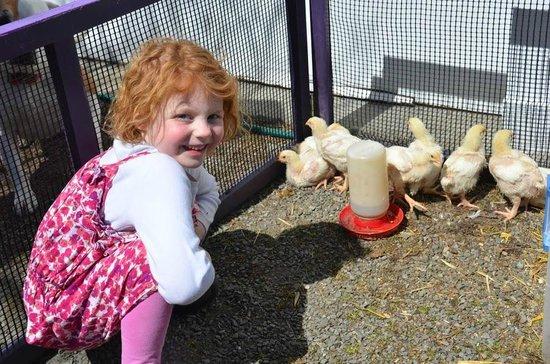 Inn BTween Farm Bed and Breakfast: Baby chicks!