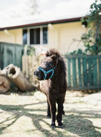 Clandulla Cottages, Beaudesert: Abbot Our Miniature Pony